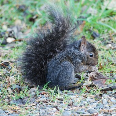 Baby black squirrel side of road by Mark's Nature Park in Parksville, British Columbia on Vancouver Island -  Nov 2013