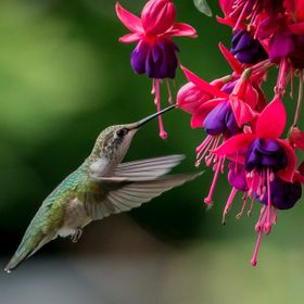 I was photographing other birds in my backyard when I spotted the hummingbird by the beautiful Fuchsia flowers and captured this shot.