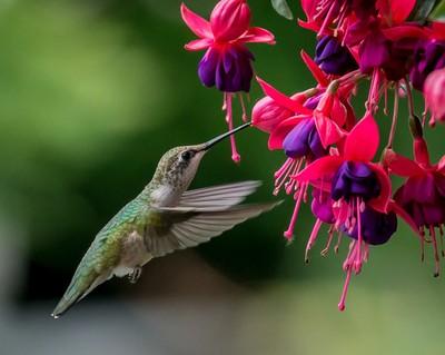 Hummingbird by Fuchsia Hanging Basket-272