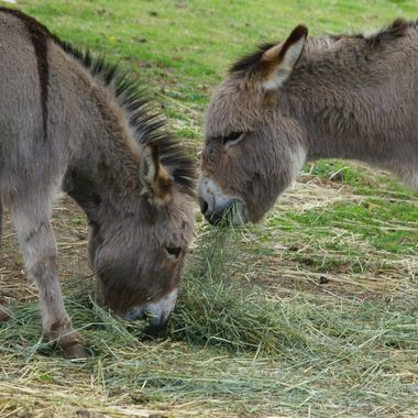 Two miniture donkeys in Coombs area of British Columbia