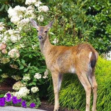 Wild Vancouver Island Deer