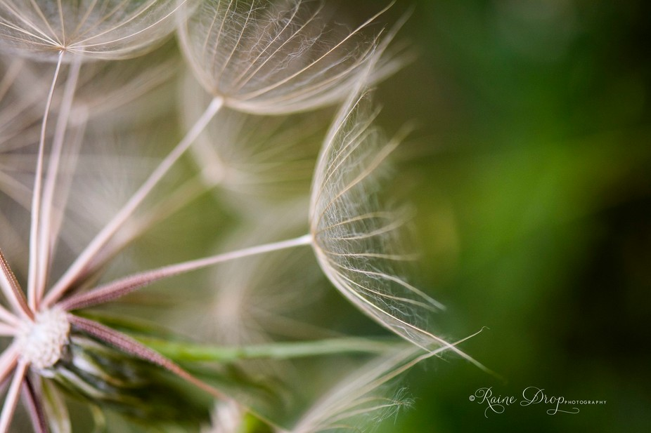 Some see a weed, I see a wish