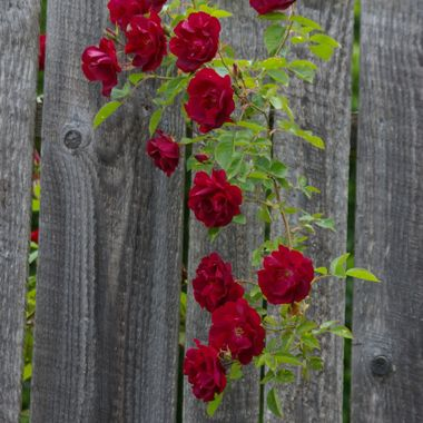 Very red roses in contrast with an aged wooden fence