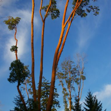 Arbutus trees are mostly native to Vancouver Island and have such bold colour when the bark is shed