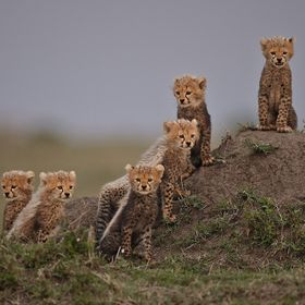 A rare sight This is the Mara six they are the offspring of the cheetah mother known as Malikia, in the Maasai Mara main reserve  (Please  note t...