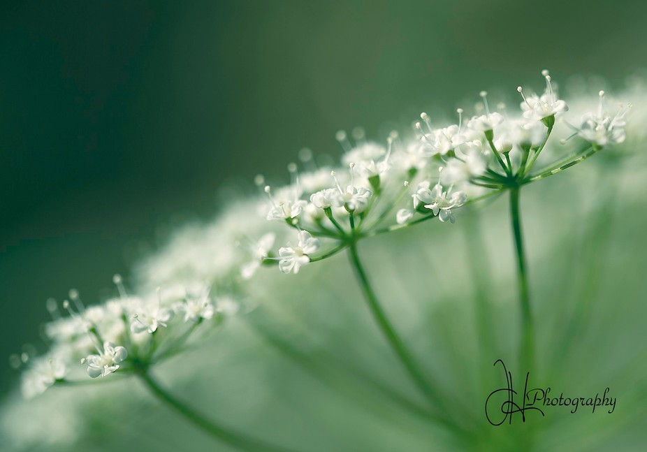 cow parsley side view shallow depth of field
