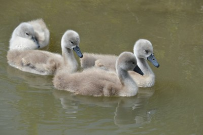 Mute Swan cygnets (Cygnus olor)