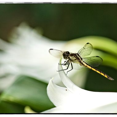 Dragon Fly Lily 1