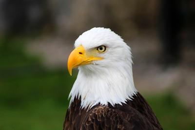 Male American Bald Eagle
