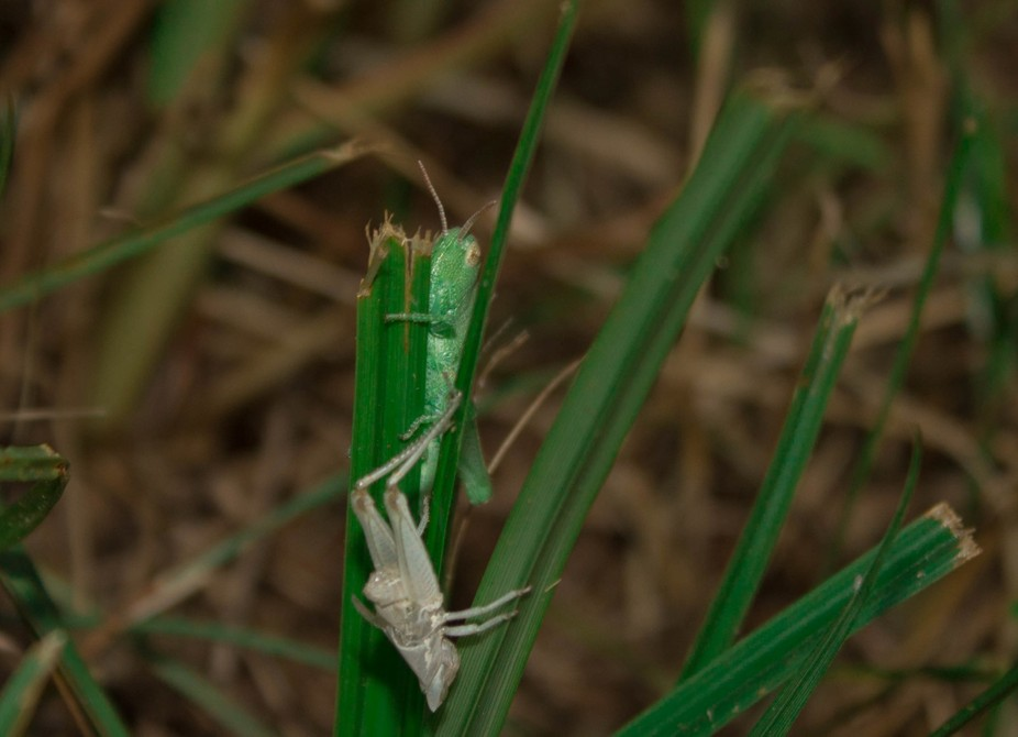 This I randomly came across. This little guy had just finished molting. I think this was a lucky ...