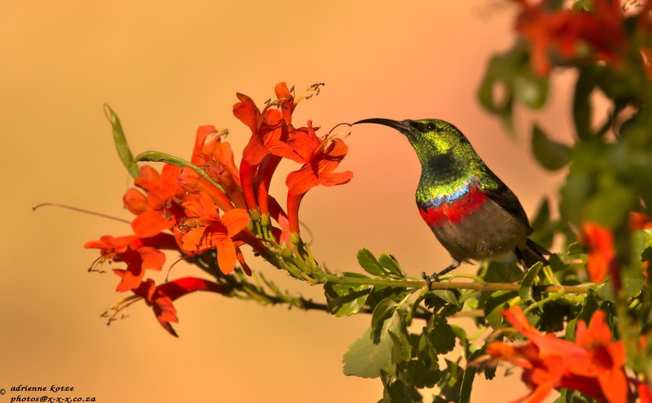 Southern double-collared sunbird in the Cederberg mountains, South Africa