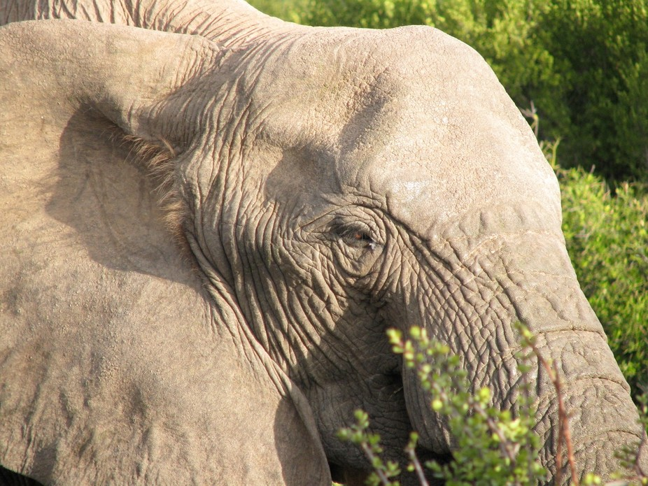 South African Elephant Close up