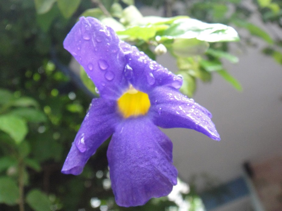 this flower is like the joy of rain after a prolonged drought..the flower seems joyful and laughi...