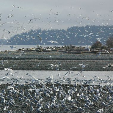 Thousands of Seagulls cover the beaches at Big Qualicum River on Vancouver Island during Herring Season!
