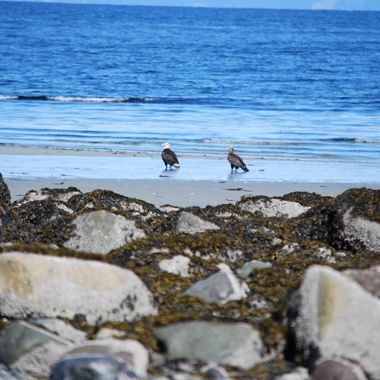 EAGLES ON QUALICUM BEACH ON VANCOUVER ISLAND