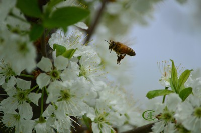 BusyBee with mirabelle flowers