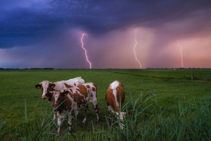 Holy Cow! by albertdros - A Storm Is Coming Photo Contest