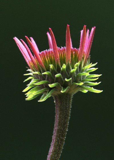 Echinacea bud