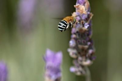 Blue banded bee on Lavender