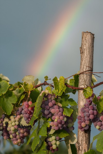 Grapes ahead of the rainbow