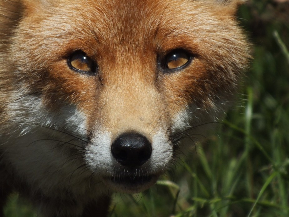 FOXES (12)