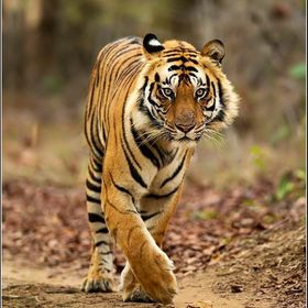 Clicked at Ranthambore Jungle while he was coming towards us we got his royal walk glimpse.