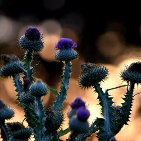 As the sun was setting, I managed to snap this picture of a Thistle plant in the Urquhart Butterfly Garden in Dundas Canada, with the setting sun...