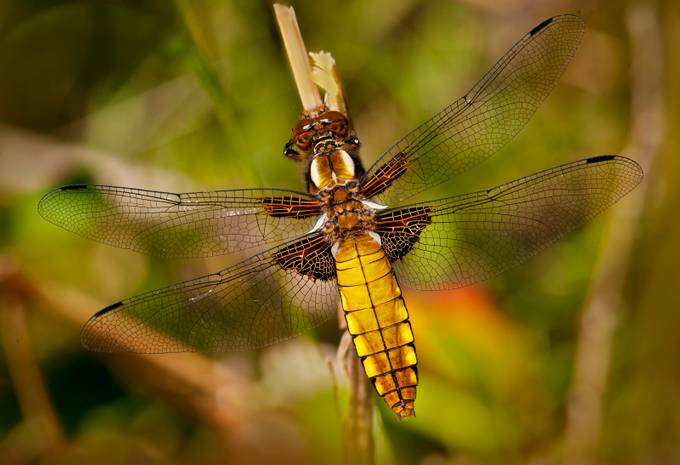 Female Broad Bodied Chaser by mrwildie