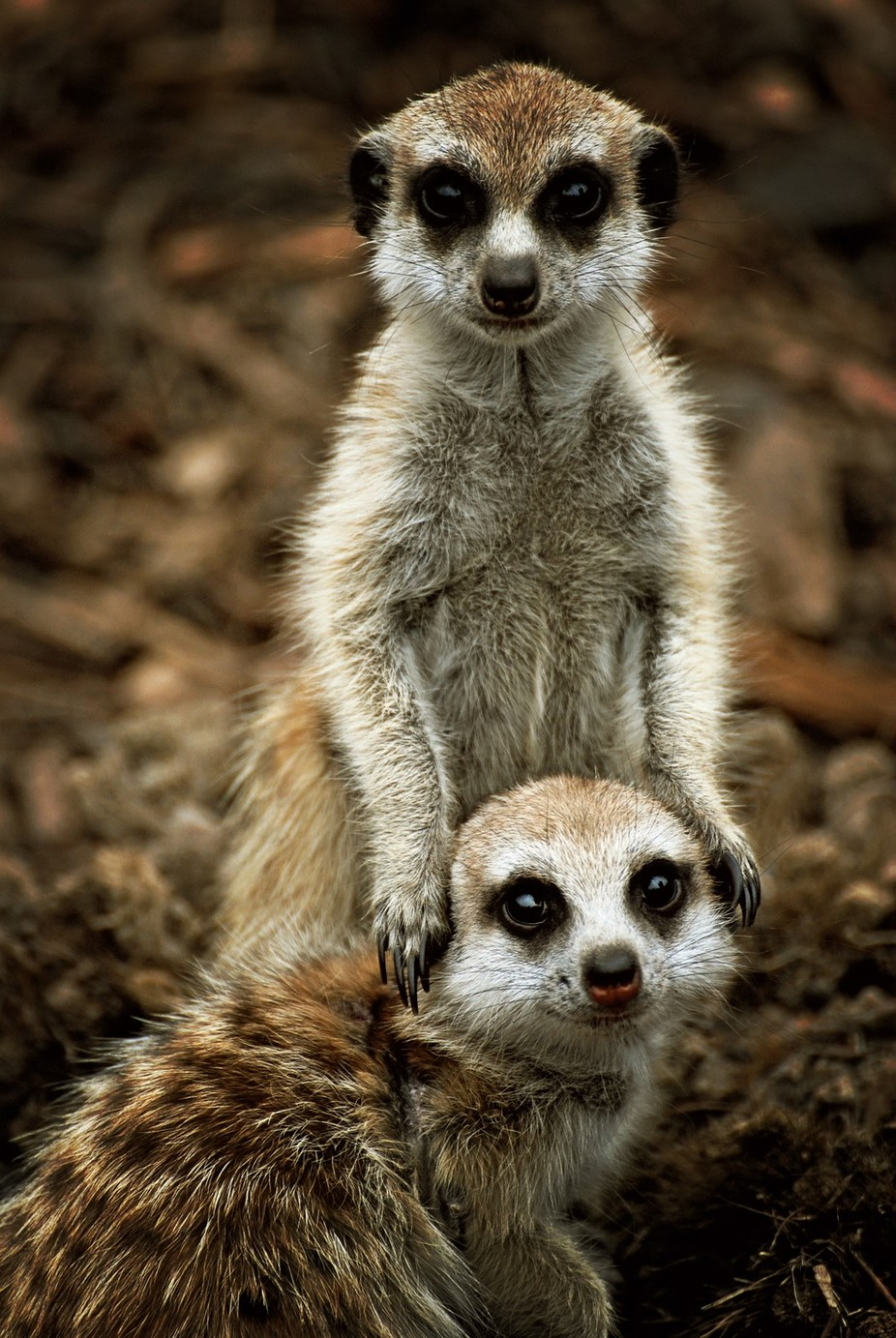 Meerkats by DevilishImagery - Explore Africa Photo Contest