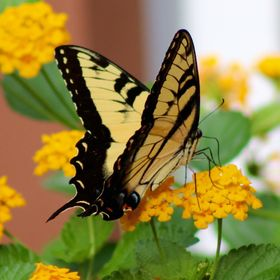 Yesterday this beauty was enjoying my Lantana plant got a few great shots!