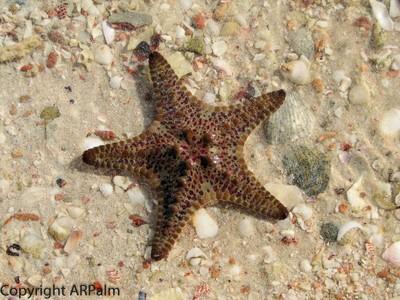 Starfish - Monkey Mia