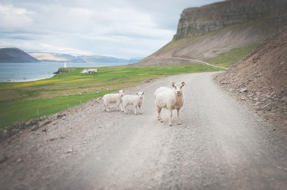 Mary with her two little lambs. We had stopped our car to take pictures of the beautiful view whe...