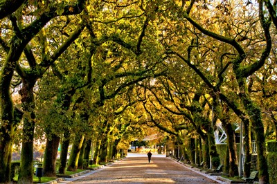 Trees of the Alameda