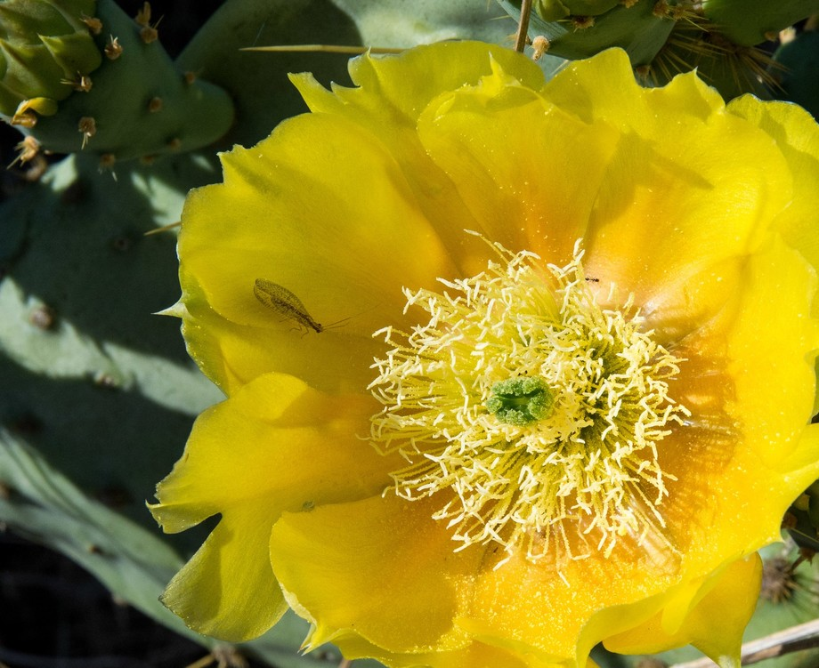 First Prickly Pear Bloom of the season