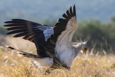 Secretary Bird - Addo Elephant Park, South Africa