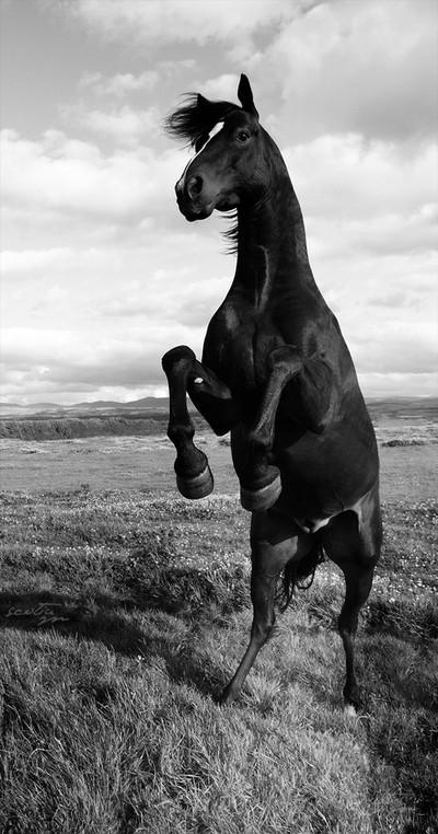 Duplikaat - Rearing Horse