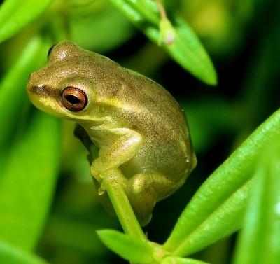 Lil Frog