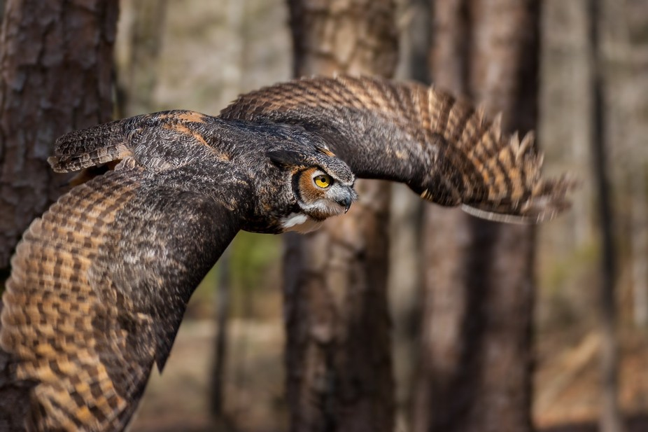 A great horned owl flying through the NC forest.