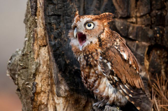 Screech Owl Calling by mattcuda - My Best Shot Photo Contest Vol 3