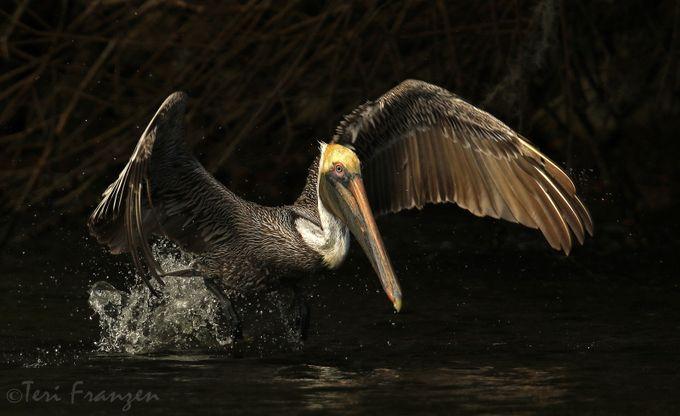 Brown Pelican Takes Flight by TKFranzen - Get Wet Photo Contest