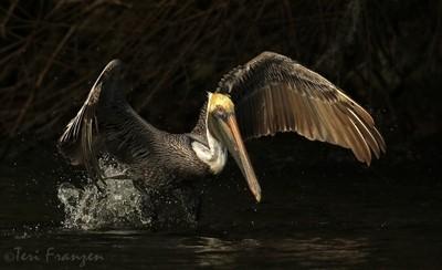 Brown Pelican Takes Flight