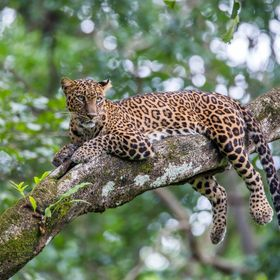 Leopard sitting on tree and looking for prey in a tropical forest. Leopards are the most versatile among all wild cats.