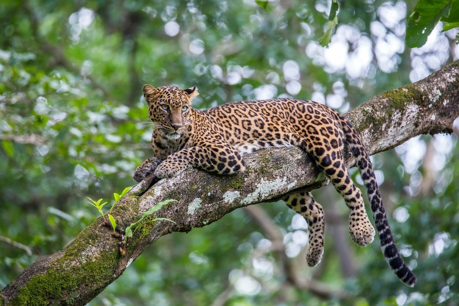 Leopard sitting on tree and looking for prey in a tropical forest. Leopards are the most versatil...