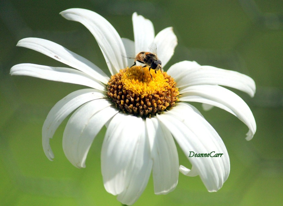 Dancing on a Daisy