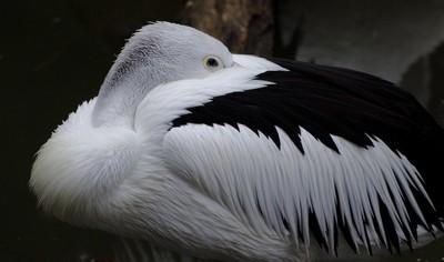 Pelican B-W?