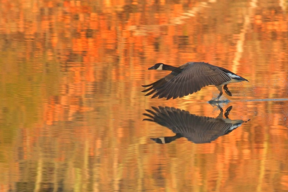 A Canada Goose lands in still water.