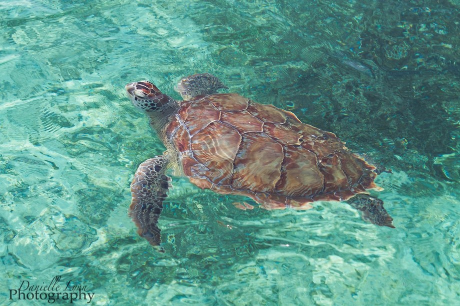 A wild Sea Turtle seen off the boat in the Bahamas whom we named Crush after the turtle in the mo...