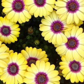 Garden flowers in yellow and magenta