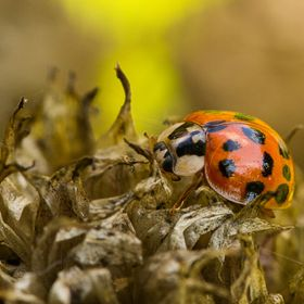 Harlequin Ladybird on chive seed head.