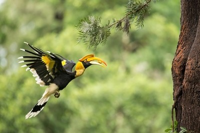 Great Indian Hornbill in flight